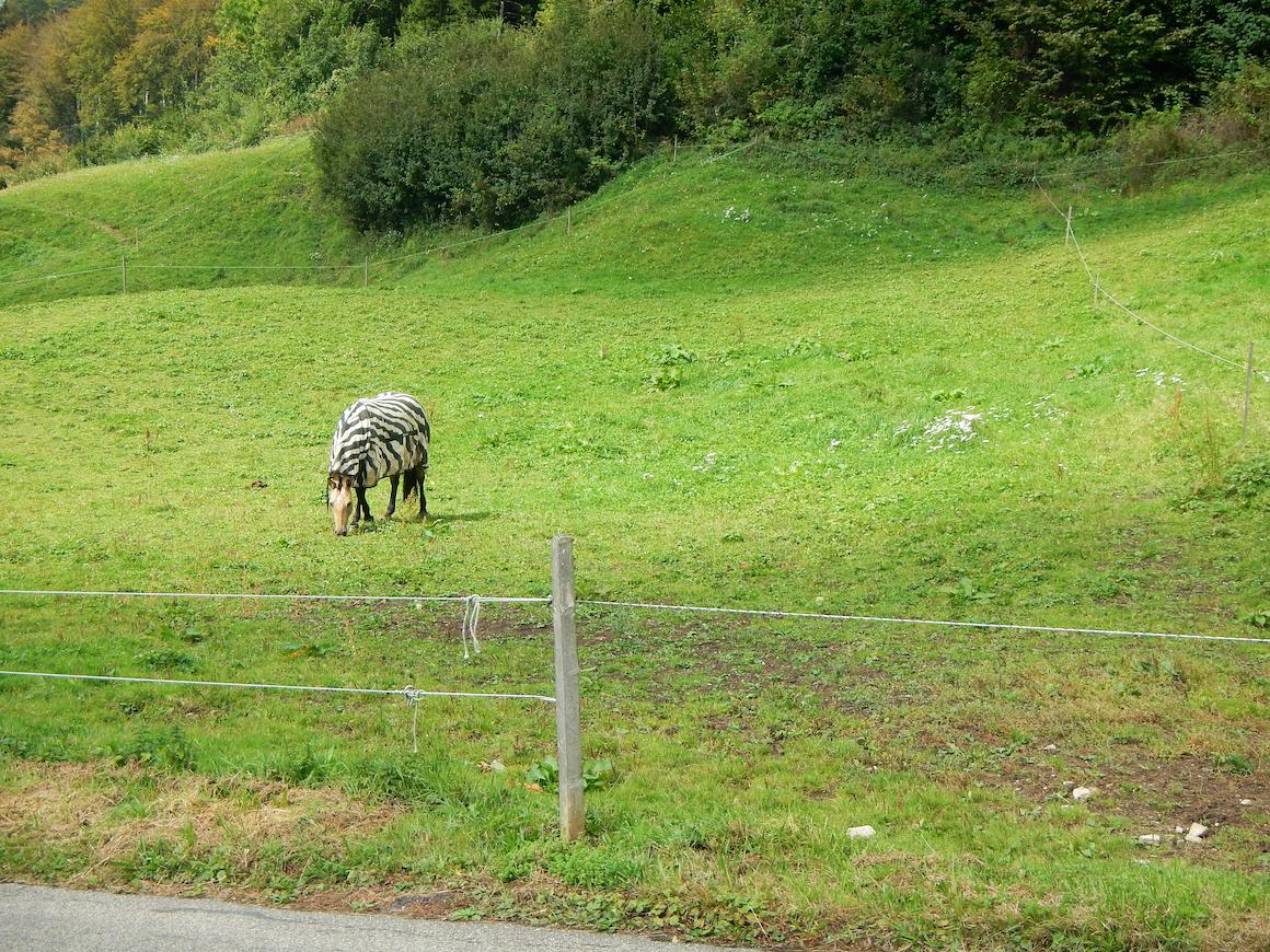 """Ein Pferd als Zebra verkleidet. Mario: """"Guck mal, ein Pferd als Zebra verkleidet!"""""""